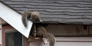 Roof animals damagenrepairs